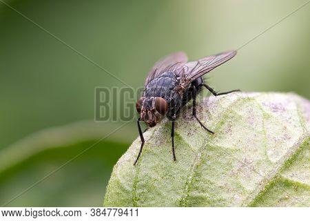 Housefly (musca Domestica)