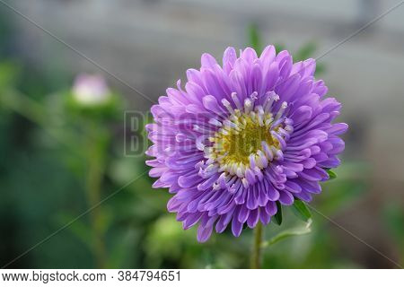 Lilac Aster Flower Close Up. One Beautiful Aster On A Flower Bed In Autumn. Purple Aster With Yellow