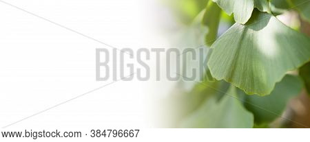 Ginkgo Tree (ginkgo Biloba) Or Gingko With Brightly Green New Leaves Against White Background. Fresh