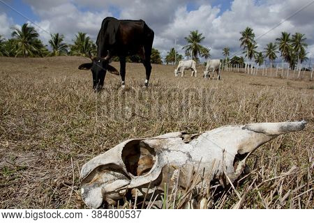 Conde, Bahia / Brazil - March 23, 2011: Animal Bone Is Seen In Dry Pasture Due To Lack Of Rain In Th