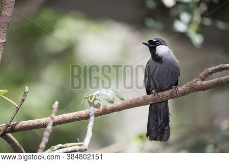 The Black-throated Laughingthrush (garrulax Chinensis) Is A Species Of Bird In The Leiothrichidae Fa