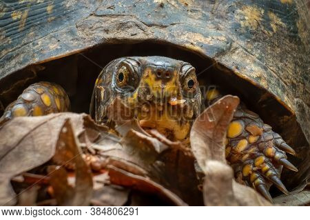 Close Up Front View Of A Female Eastern Box Turtle In The Woods. Raleigh, North Carolina.