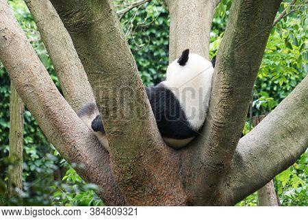 Giant Panda Sleeping On Top Of The Tree