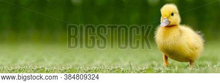 Small Newborn Ducklings Walking On Backyard On Green Grass. Yellow Cute Duckling Running On Meadow F