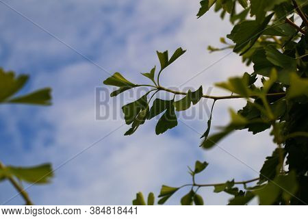Ginkgo Biloba Branch With Green Leaves Against A Blue Sky.