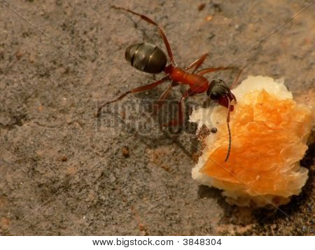 Macro Ant Eating