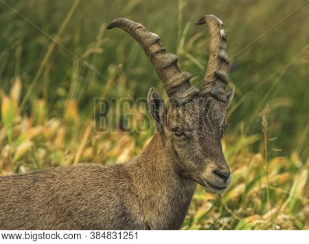 Male Wild Alpine Ibex, Capra Ibex, Or Steinbock Walking In Alps Mountain, France