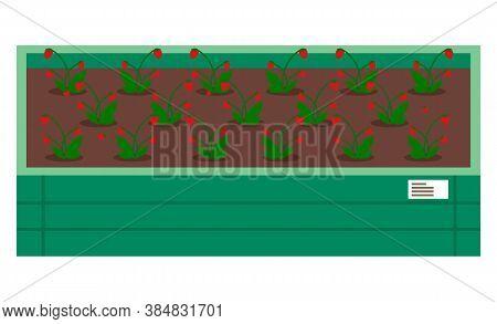 Strawberries Growing In Wooden Box With Soil, Grow Berries, Breeding Plants, Growing Garden, Seedlin