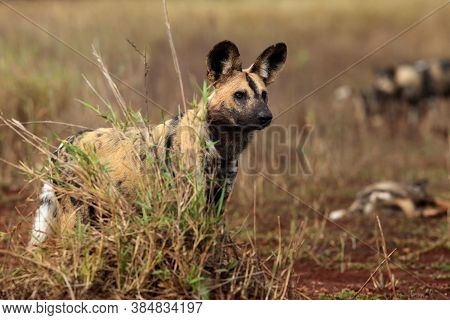 The African Wild Dog, African Hunting Dog, Or African Painted Dog (lycaon Pictus), Portrait. Portrai