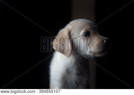 Cute Labrador Puppy Avoiding Eye Contact By Looking Away