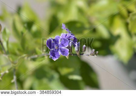 Golden Dewdrop Flowers - Latin Name - Duranta Erecta
