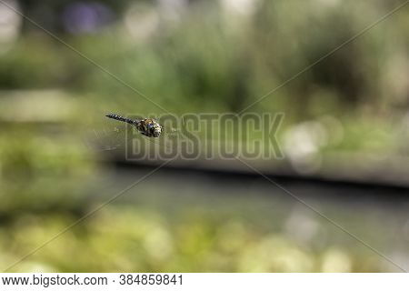 The Blue Dasher (pachydiplax Longipennis) Dragonfly Against Blurry Background