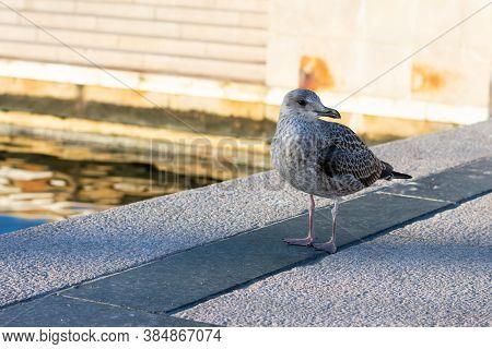 Grey Seagull Bird Is Walking Along Water On Pier. Wild Seabird In City