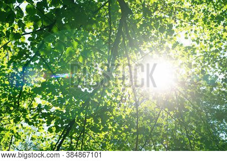 Bright Sunlight With Lens Flare Through Trees With Green Leaves. Look Up View On Tops Of Trees And S