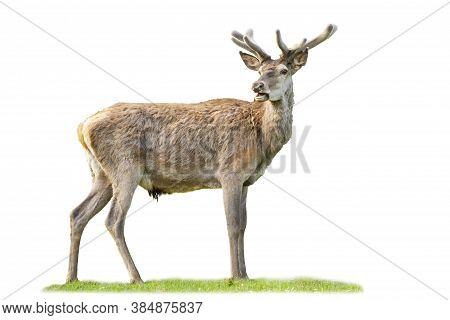Calm Red Deer Stag Grazing With Open Mouth Isolated On White Background