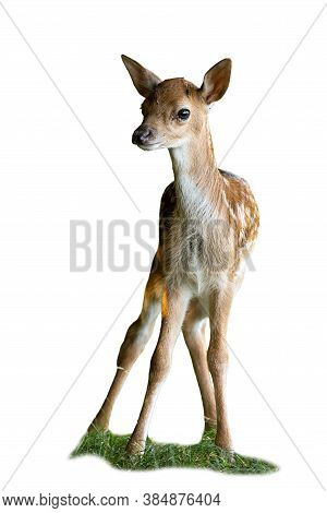 Baby Fallow Deer Standing On Grass Isolated On White Backgorund.