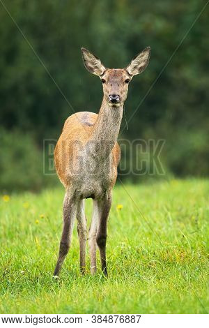 Cautious Red Deer Hind Standing On Meadow In Autumn.