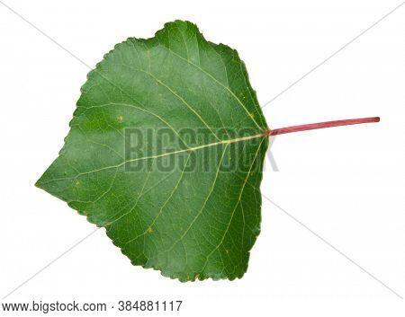 Green aspen leaf on white background