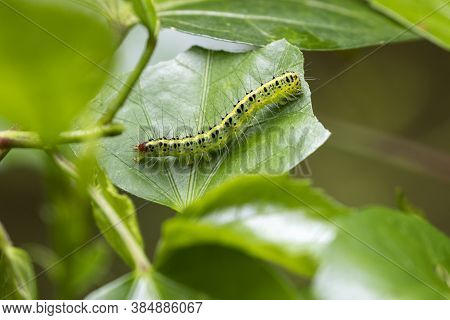 Caterpillars Are The Larval Stage Of Members Of The Order Lepidoptera (the Insect Order Comprising B