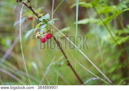 Wild Raspberry Plant With Ripe Berries, Growing In The Damp Morning Forest. Selective Focus.