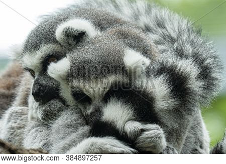 Ringtailed Lemurs Cuddle Together While On A Nearby Branch