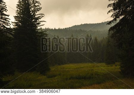 Fog In Pine Forest After Rain, Atmospheric Photo