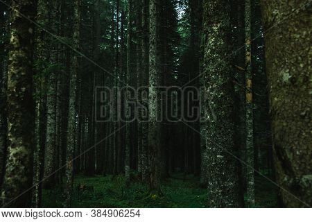 Pine Trunks In The Park After Rain, Atmospheric Photo In Montenegro