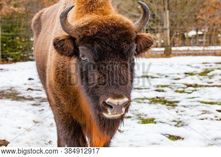 European Bison (bos Bonasus) In Winter Time - Close Up