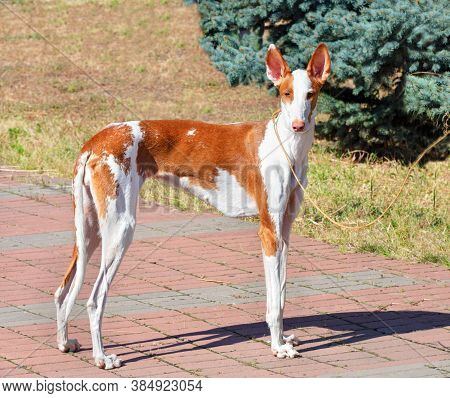 The Ibisan Hound Is A Affectionate, Loyal Dog. Excellent Companion And Watchman.