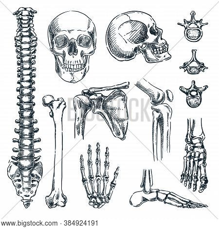 Human Skeleton, Bones And Joints, Isolated On White Background. Vector Hand Drawn Sketch Illustratio