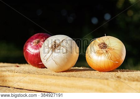 A Group Of Onion Fruits In The Garden In The Morning.
