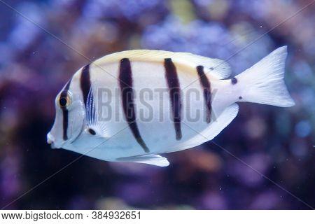 White Fish With Black Stripes. Manini, Convict Surgeonfish, Acanthurus Triostegus. Soft Focus, Selec