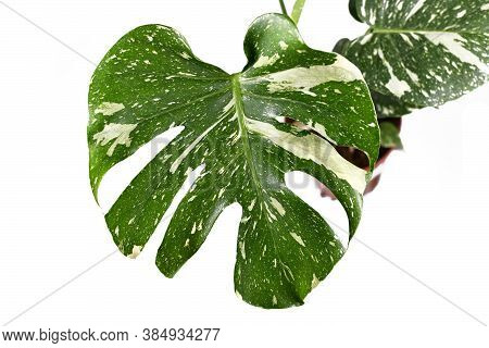 Leaf Of Beautiful Rare Variegated Plant With Botanic Name 'monstera Deliciosa Thai Constellation' Wh