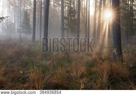 Fall Scenery. Misty Morning. Pine Forest. Sunbeams. Dew On Dry Grass.