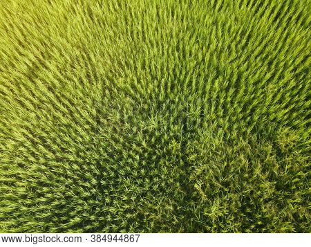 Aerial View Or Bird Eye View Of Agriculture In Rice Fields