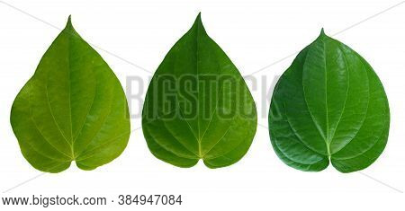 Betel Leaves, Green  Leaf Isolated On White Background With Clipping Path