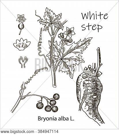 White Step, Vintage Engraved Illustration. More Realistic Botanical Illustration. Image For Your Des