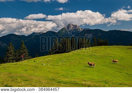 Herd Of Cows Grazing On Alpine Meadow In Summer. Steep Slopes, Panoramic Peaks Andmountains Withva