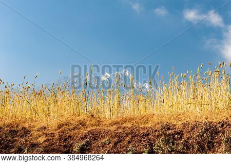 Golden Wheat Field With Khatang Numbur Mountain Peaks In Background. Trekking In Nepal Himalayas. Eb