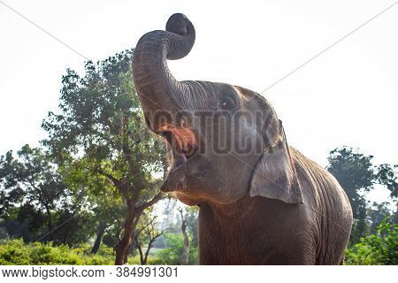 Baby Elephant Portrait. Baby Elephant Opening Mouth & Playing On The Reserve Field With Isolated On
