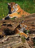 two in a tree playing Siberian tiger cubs poster