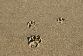 Dog Footprint In Sand