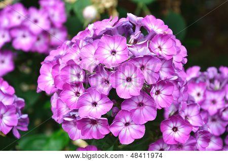 Lavendar Flower