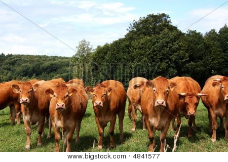Limousin Cattle  A Row Of Inquisitive Faces