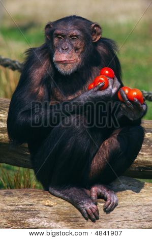 Chimpanzee With Tomatoes