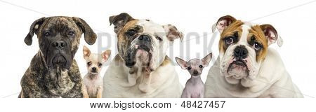 Close-up of a group of dogs, isolated on white
