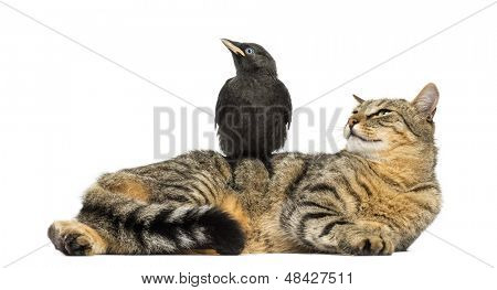 Western Jackdaw perched on a cat, looking in the same direction, isolated on white