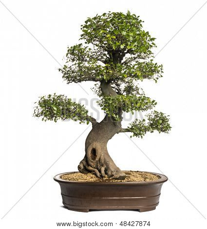 Celtis bonsai tree, latoneros, aislado en blanco