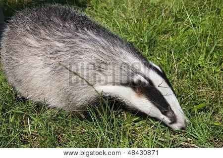 European badger (Meles meles) in the grass poster