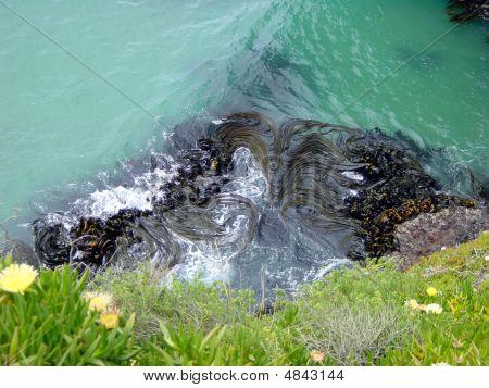 New Zealand Kelp And Seaweed